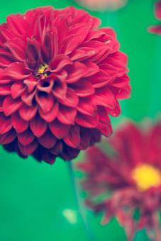 自然 植物 花 花びら 重なる 多い 密集 集まる 沢山 丸い 球体 赤 黄色 花粉 満開 咲く 開花 開く 茎 緑 成長 育つ 伸びる ぼやける ピンボケ アップ 加工 無人 屋外 室外 風景 景色 見頃 可愛い 鮮やか 綺麗 華やか 美しい 幻想的 ダリア
