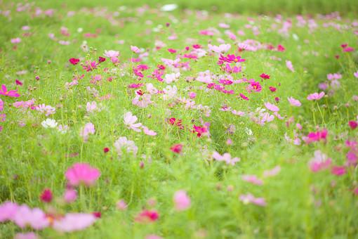 秋の風景 コスモス アキザクラ 秋桜 コスモス畑 花畑 花園 桃色 ピンク 白 緑 植物 花 草花 一面 満開 散歩 散策 自然 風景 景色 真心 のどか 鮮やか 美しい 綺麗 明るい ボケ味 ピントぼけ