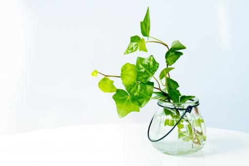 蔦 つた ツタ 緑 グリーン 植物 自然 ナチュラル 観葉植物 葉っぱ 背景白 テキストスペース キイロイトリ 白バック エコ 環境 小物 インテリア 背景 タイトルバック ガラスビン 花瓶 ガラス リラックス 癒し