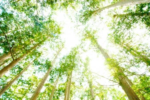 蔦 這う ナツヅタ コピースペース 青空 空 青 木 巨木 大木 ツリー 植物 森 緑 山 山中 森林 根 静 大きな木 自然 枝 葉 グリーン 北海道 日本 さわやか 爽やか 光 まぶしい 眩しい エコ eco 森林浴 屋外 壁紙 背景 背景素材 バックグラウンド 環境 初夏 葉っぱ 明るい 木漏れ日 こもれび