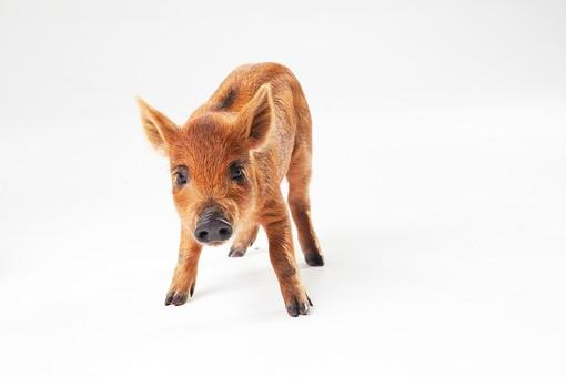 ポーズ 動物 生物 生き物 哺乳類 ほ乳類 いのしし イノシシ 猪 うり坊 ウリ坊 赤ちゃん 子ども 子供 こども 十二支 干支 亥 全身 前向き 正面 止まる 立つ 歩く 白背景 白バック グレーバック カメラ目線