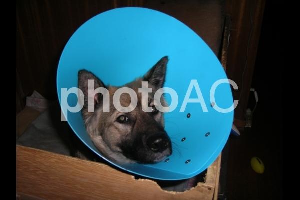 エリザベスカラーを付けた犬の写真