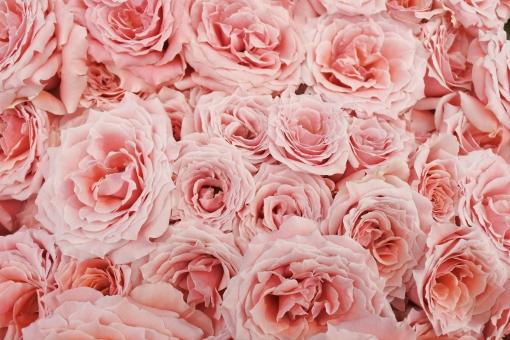 バラ rose flower ピンク pink 花 自然 植物 ガーデニング 可愛い ガーリー ナチュラル 庭 園芸 女性的 休日 趣味 春 夏 北欧 洋風 家 公園 背景 エレガント 高級感 エレガンス 優雅 豪華 プレゼント 誕生日 花屋さん 生花 レトロ パーティー 結婚 結婚式 ウェディング