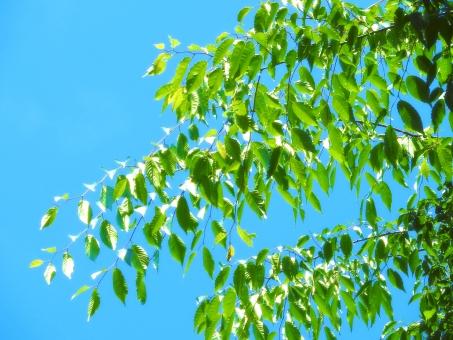 緑 木 枝 小枝 新緑 葉 葉っぱ はっぱ リーフ 植物 木々 森林 森林浴 グリーン 安らぎ 落ち着き 清々しい さわやか 心地よい 環境 エコ エコロジー 4月 5月 6月 7月 春 晩春 初夏 夏 山 自然 淡い 雰囲気 イメージ デザイン 明るい 青々 生い茂る 切り抜き パス クリッピングパス デザインパーツ 部品 パーツ 素材 材料 ケヤキ けやき 欅 樹木 青空 空 背景 バック バックグラウンド