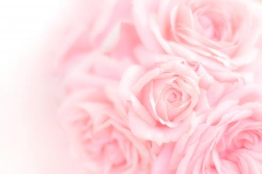 ふんわり薔薇 テクスチャ1の写真