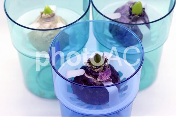 球根(水栽培用のヒヤシンス球根)の写真
