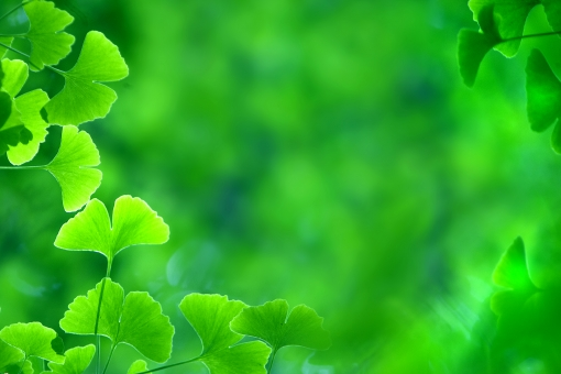自然 風景 植物 木の葉 葉っぱ 緑の葉っぱ 森林 初夏 夏 新緑 若葉 新芽の季節 イチョウ グリーンバック ポストカード 待ち受け画像 コピースペース バックスペース 野外アウトドア 公園 四月・五月 六月・七月・八月 みずみずしい 新鮮な 光透過光 木漏れ日 目に青葉