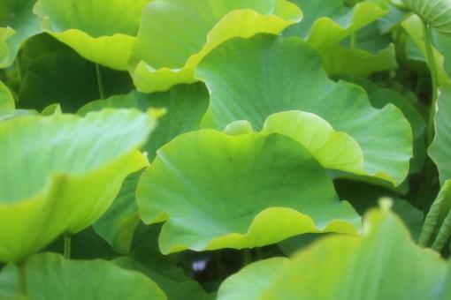 梅雨 つゆ 水辺 蓮 ハス はす 蓮の花 はすのはな ハスの花 ロータス 蓮池 蓮の葉 葉っぱ 葉 緑 池 美しい 涼しい 爽やか 自然 植物 日本 和 和風 6月 7月 春 初夏 夏 接写 クローズアップ アップ 背景 背景素材