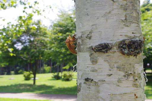昆虫 抜け殻 脱皮 殻 成長 成虫 葉 リーフ 緑 グリーン 植物 雑草 生き物 生命 命 いのち 野生 野草 自然 環境 エコ 遠近 ぼかし 近接 虫取り 観察 標本 白樺 樹木 木 木々 晴天 晴れ 快晴