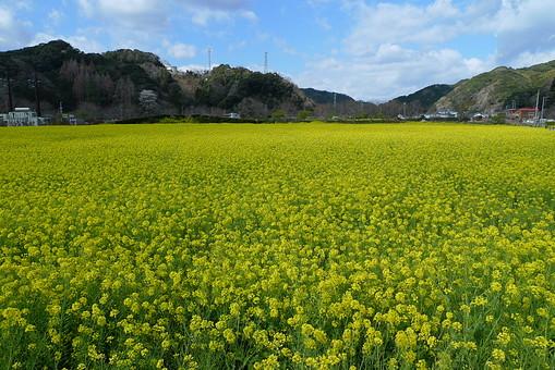 伊豆 菜の花 春 青空 自然 風景 景色 日本 静岡県 花 植物 ナノハナ なのはな 花畑 菜の花畑 黄色 早春 空 雲 晴れ 晴天 山 田舎 屋外 野外 外