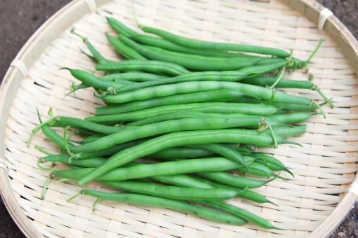 畑 作物 自家栽培 野菜 ベジタブル 草花 栽培 6月 六月 7月 七月 8月 八月 紫 とてたて 新鮮 サヤインゲン さやいんげん インゲン豆 インゲン いんげん インゲンマメ インゲンまめ いんげんまめ
