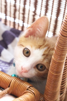 ねこ ネコ 猫 にゃんこ ニャンコ にゃん ニャン 子猫 子ねこ 子ネコ 白茶 家ネコ 家猫 家ねこ キャリーバック 見つめる 動物 生き物 可愛い かわいい cat ピンク色の鼻 ペット 家族 ちっちょ 眼差し まなざし