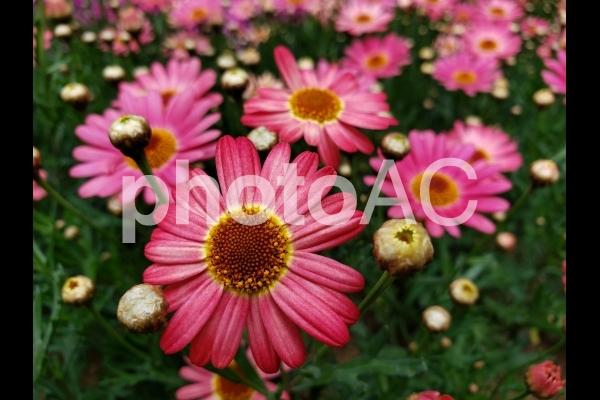 ピンクのガーベラの写真