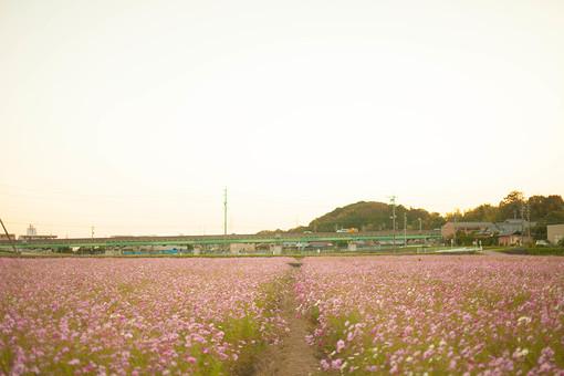 秋の風景 コスモス アキザクラ 秋桜 コスモス畑 花畑 花園 桃色 ピンク 白 緑 植物 花 草花 一面 満開 散歩 散策 空 田舎 自然 風景 景色 真心 のどか 鮮やか 美しい 綺麗 明るい ボケ味 ピントぼけ セピア 思い出