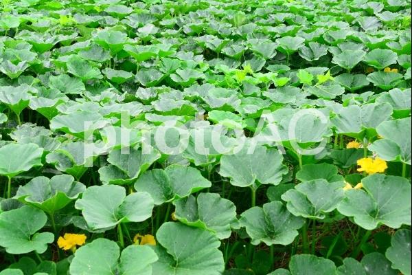 農業、カボチャ畑 4の写真