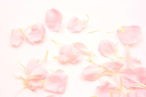 花 カーネーション 母の日 ピンク バック コピースペース 淡い 年中行事 切り花 植物 かわいい イベント 花びら かれんな