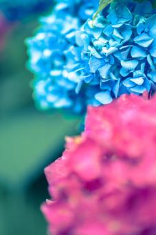 自然 植物 花 花びら 青色 水色 ピンク 桃色 紫 葉 葉っぱ 緑 小花 満開 開く 咲く 開花 成長 育つ 集まる 密集 多い 沢山 ぼやける ピンボケ あじさい アジサイ 紫陽花 重なる 加工 無人 室外 屋外 風景 景色 幻想的