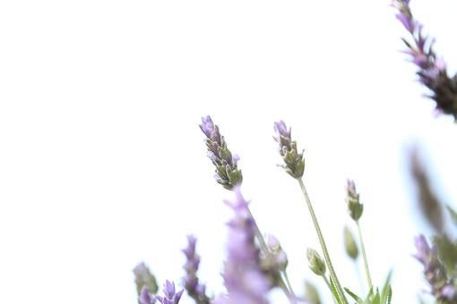 花 お花 春 フラワー 背景 植物 バックグラウンド きれい 背景素材  咲く  風景 自然 明るい   屋外  ラベンダー ハーブ スペース テキストスペース