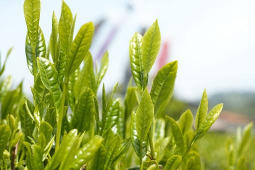 新茶 新芽 茶 5月 陽春 新緑 茶畑 greentea tea せん茶 煎茶 日本茶 和 茶の芽 芽 鯉のぼり 八十八夜