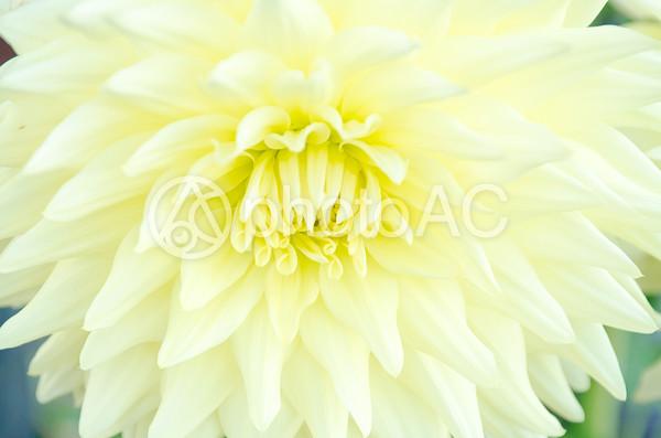 黄色い菊の写真