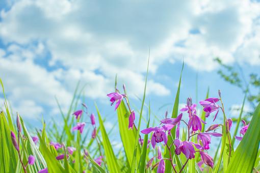 自然 植物 花 花びら ピンク色 桃色 紫色 しぼむ 枯れる 葉 葉っぱ 緑 密集 集まる 沢山 多い 群生 空 雲 青空 晴天 天気 晴れ ぼやける ピンボケ アップ 加工 無人 風景 景色 室外 屋外 幻想的 シラン