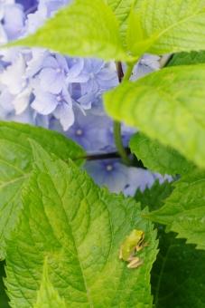 あじさい アジサイ 紫陽花 淡い 淡い色 淡い花 淡い紫陽花 花 植物 緑 梅雨 梅雨時 青い花 カエル かえる 蛙 生き物 いきもの