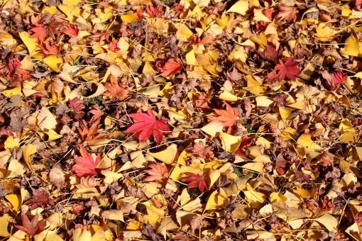 自然 葉 葉っぱ 落ち葉 秋 もみじ いちょう 紅葉 銀杏 落葉 枯葉 イチョウ 枯れ葉 落ちる 枯れる 赤 黄色 茶色 赤色 オレンジ色 植物 質感 テクスチャ テクスチャー イメージ 秋イメージ 背景 アップ バックグラウンド 一面 壁紙 沢山 重なる たくさん 重なり カラフル 色とりどり 皺 しわ くしゃくしゃ 全面 クローズアップ 乾燥