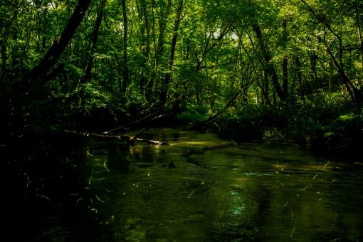 蛍 ほたる ホタル 川 夏 緑 森 河川 自然