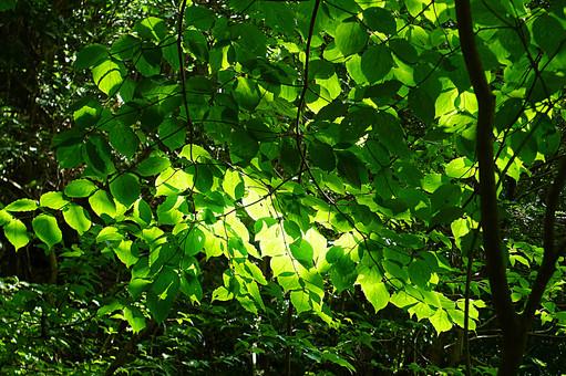 三重県 布引の滝 ぬのびきのたき 自然 きらずの森 緑 森林  木立 木漏れ日 葉