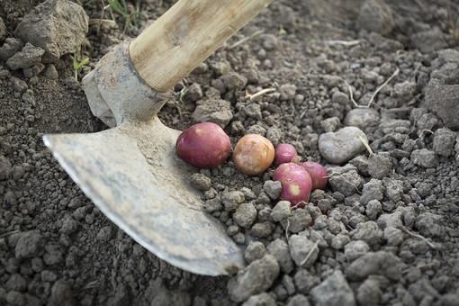 じゃがいも 赤いも ポテト ジャガイモ じゃが芋 芋 生き物 食べ物 食物 食料 食品 フード 食材 根菜 でんぷん 芽 ベージュ 赤 レッド 8個 屋外 新鮮 収穫 真上 土 畑 アップ くわ 掘り起こし 掘る 接写 ズーム
