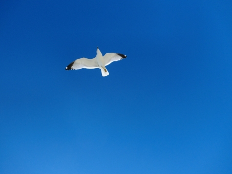 青空を飛ぶカモメの写真
