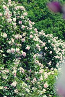 植物 自然 花 バラ ばら 薔薇 華やか 豪華 ゴージャス エレガント ローズ ローズガーデン 背景 壁紙 バラ園 薔薇園 花園 庭 公園 ブライダル ウエディング 結婚式 結婚 つるバラ 蔓バラ 蔓薔薇 明るい クリーム