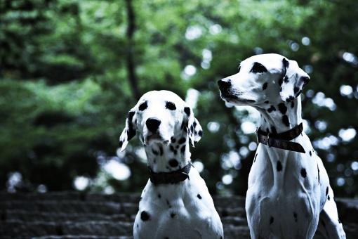 ダルメシアン 犬 かわいい 明るい 動物 生き物 ペット ペットショップ トリミング 動物病院 家族 愛犬 ドッグフード 屋外 飼い犬 癒し 自然 散歩 首輪 アップ 成犬 白黒 ブチ 斑点 2匹