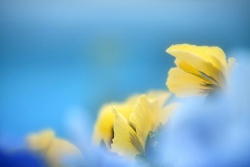 自然・風景 植物 花 春の花 黄色い花 春イメージ 春景色 新緑 若葉 新芽の季節 パンジー 光を浴びて 光透過光 待ち受け画面 ポストカード コピースペース 背景 野外アウトドア 森・林・公園 バックグランド バックスペース みずみずしい 季節感 ビタミンカラー