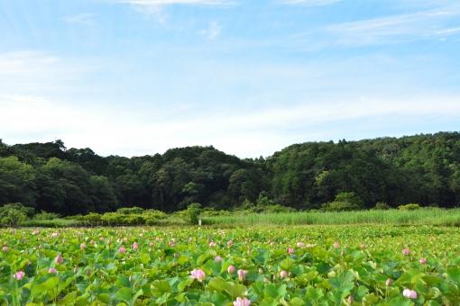 ハス 風景の写真