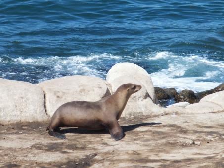 野生 動物 生き物 アシカ 海 ひなたぼっこ お休み 岩 夏 海岸 カリフォルニア サンディエゴ ラホヤ アメリカ 海外 西海岸 のんびり 休日 子供 散歩 歩く よちよち