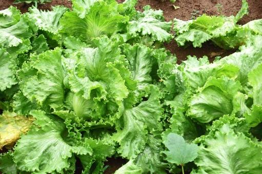 レタス れたす 野菜 夏野菜 ベジタブル 葉 葉物 農業 農作物 作物 農地 農耕地 耕地 露地栽培 青果 青物 食べ物 食品 食材 食料品 食糧 食料 植物 緑 自然 夏の植物 季節の植物 懐かしい風景 懐かしい景色 田園風景