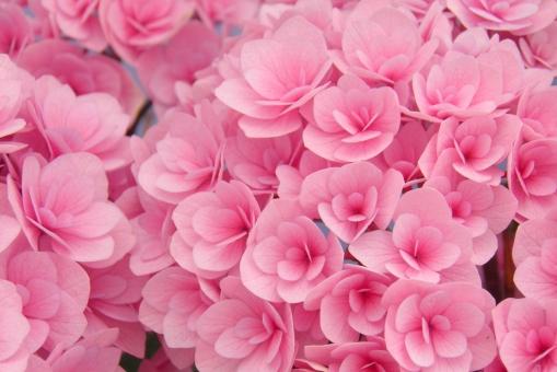 イメージ ふんわり キレイ かわいい 可愛い 綺麗 きれい 美しい さわやか 新緑 爽やか いやし リラックス 葉っぱ 葉 リラクゼーション やすらぎ 安らぎ マイナスイオン バックグラウンド 7月 夏 癒し 6月 六月 背景 6月 背景画像 背景写真 背景素材 みどり グリーン 素材 初夏 満開 園芸 ガーデニング 栽培 庭園 花壇 庭 植物園 緑 雨 雨上がり 景色 あじさい 紫陽花 アジサイ 紫陽花畑 あじさい園 木 植物 風景 自然 公園 梅雨 見頃 日差し 光 鮮やか 季節 マクロ クローズアップ アップ ピンク 桃色 テクスチャ テクスチャー 壁紙 明るい 花