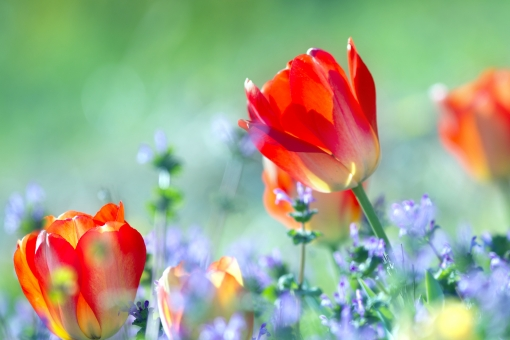 自然・風景 植物 花 チューリップ 春の花 春イメージ 春景色 花畑 新緑 若葉 新芽の季節 元気いっぱい 仏の座 四月・五月の花 カラフル 野原 待ち受け画面 ポストカード コピースペース 背景 野外アウトドア 森・林・公園 光を浴びて 光透過光 緑に囲まれて バックグランド バックスペース 季節感 エコ・環境 若々しい