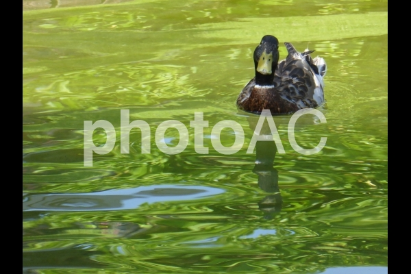 新緑を映す湖面と真鴨の写真
