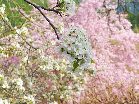 奈良県 佛隆寺 桜 春