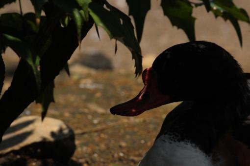 日差し 日差し 日差し 日差し ガチョウ 鳥 アヒル 日影 涼む 影 暑い 夏 とり 動物 アニマル 自然 外 植物 木陰 地面 くちばし 逆光