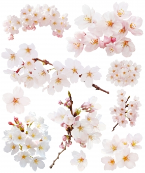 桜のセット(PSDは背景透過・切抜きパス入り)の写真