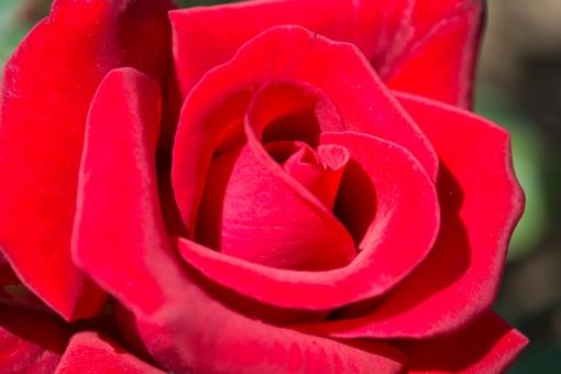 真っ赤なバラ 薔薇 バラ 赤いバラ 赤い花 レッドローズ レッド 美しい 植物 花のアップ バラのアップ 秋 春 花 ばら 秋の花 赤 壁紙 背景 素材