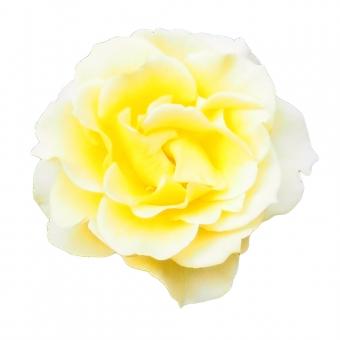 【パス入り】黄色いバラの写真