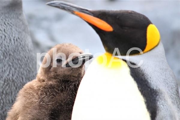 キングペンギンの親子の写真