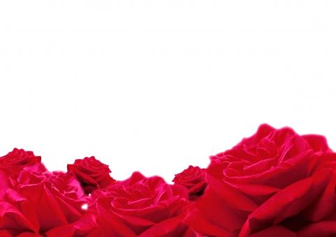 バラ 背景の写真