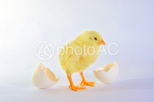 白バック 卵の殻とひよこ6の写真
