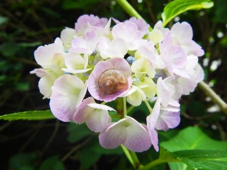 六月 6月 梅雨 季節 雨 雨上がり 滴 しずく 白 紫 薄紫 あじさい アジサイ 紫陽花 カタツムリ かたつむり 蝸牛 哀愁 静寂 静けさ