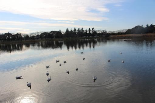 とり 水面 青空 池 渡り鳥 白い鳥 トリ 公園 青 木 自然 雲 冬空 寂しげ bird japanese japan sky blue 冬 winter 寒い cold